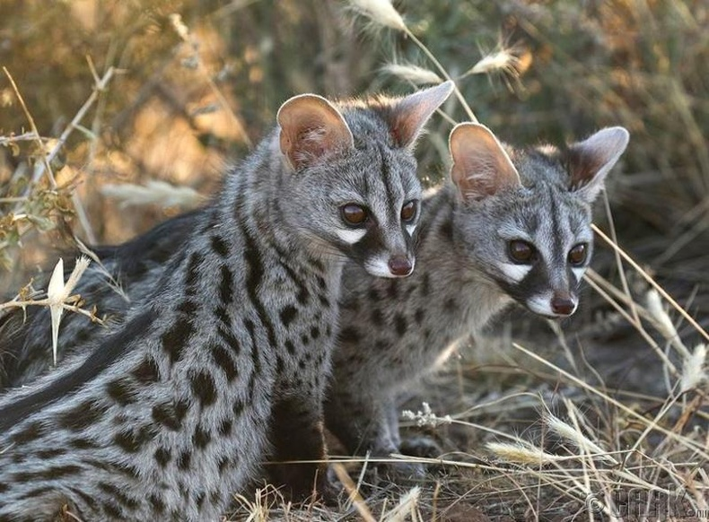 Энэ муур шиг төрхтэй илбэнх ганцхан Намибын цөлд аж төрдөг