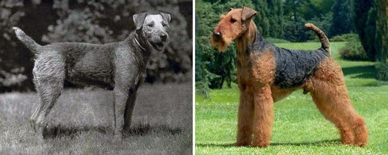 Эйрдейл Тэрьер (Airedale Terrier)