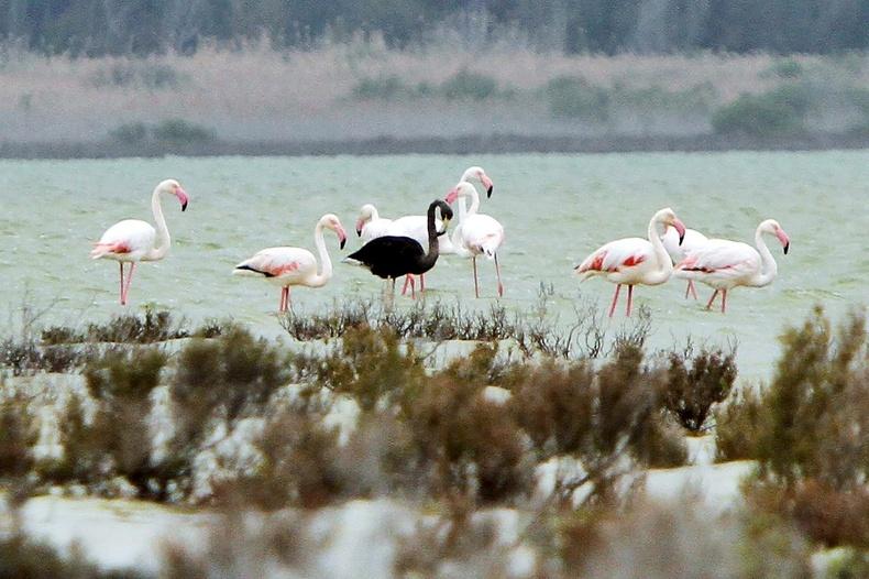 Хар хунгийн нэгэн адил хар фламинго бас байдаг