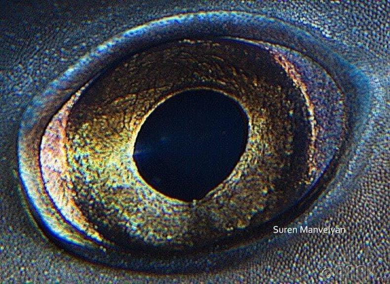 Аварга загасны эргэн нүдний тойрон дахь мембран нь харааны мэдрэхүйг сайжруулдаг