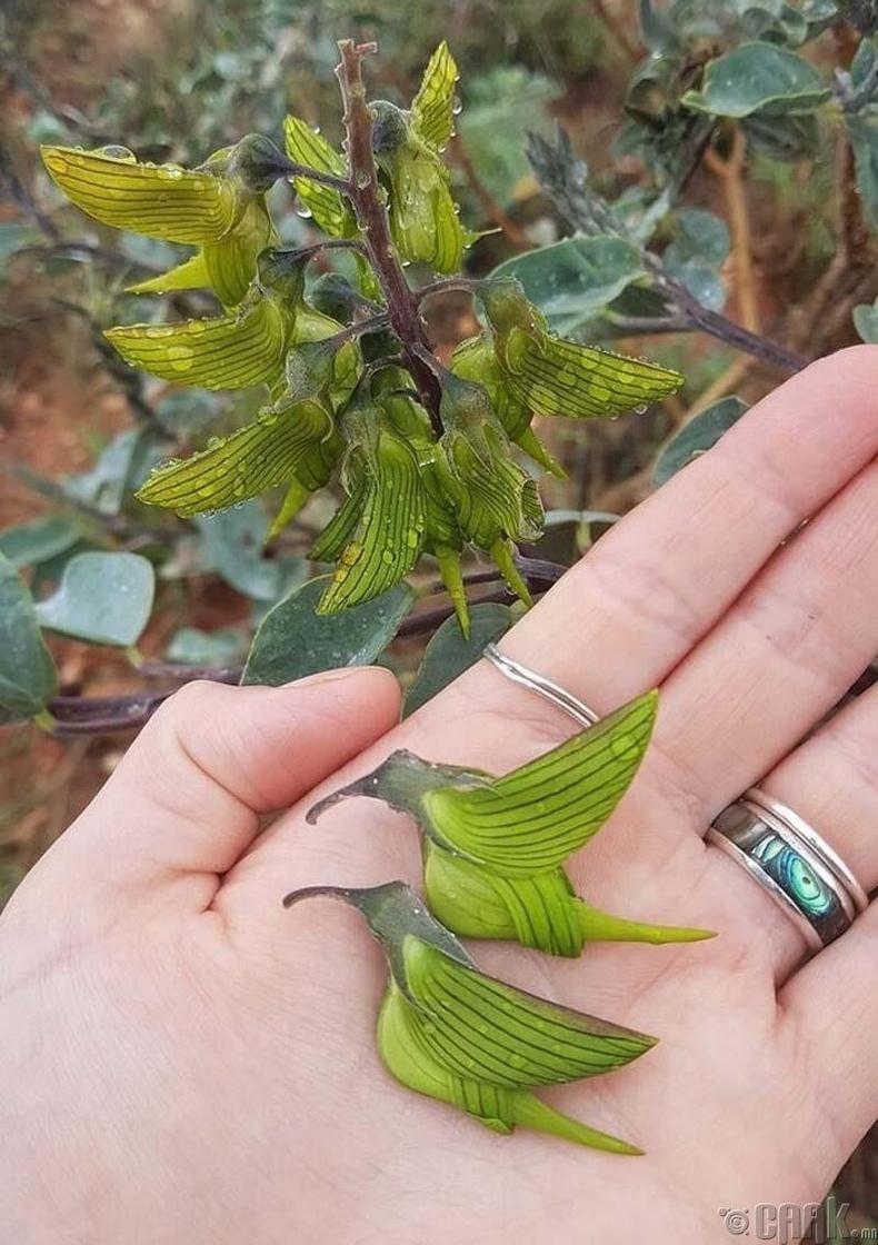 Шувуу шиг ургамал