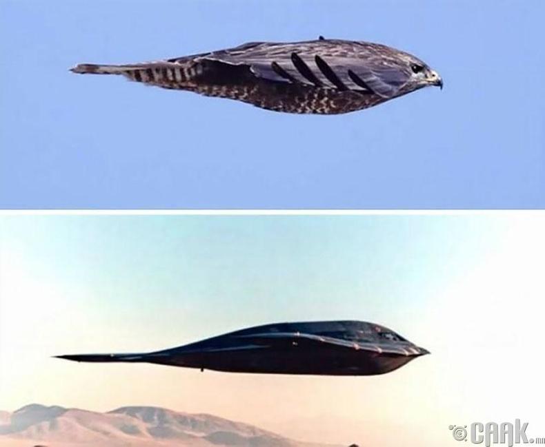 """Northrop B-2 """"Spirit"""" бөмбөгдөгч онгоц болон шонхор шувуу"""