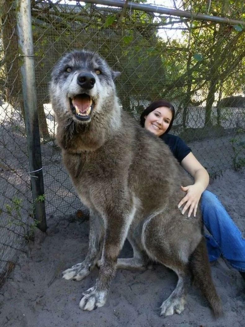 """""""Чоно нохойны эрлийз Юүки тусгай хамгаалалттай газарт амьдарч байна."""""""