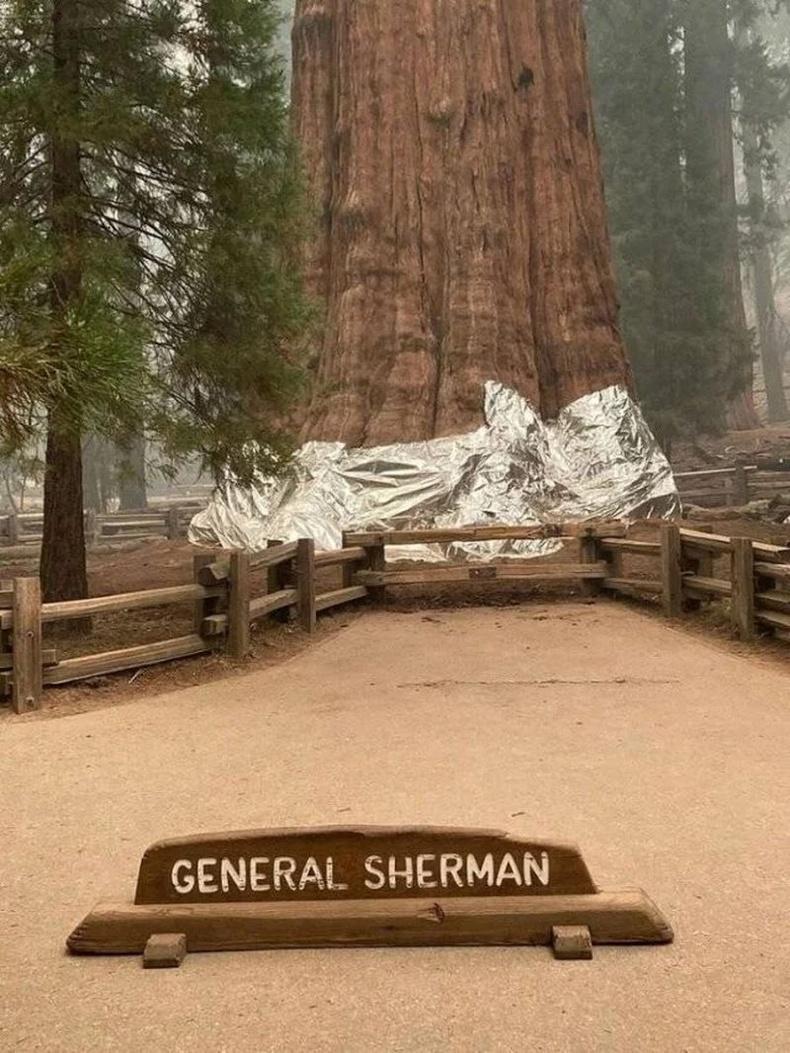 Дэлхийн хамгийн том модыг ойн түймрийн үеэр хамгаалсан байгаа нь