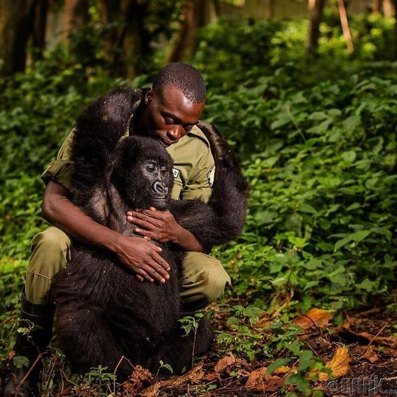 Уулын горил ба ой хамгаалагч - Гэрэл зурагчин Адам Кифер (Adam Kiefer)