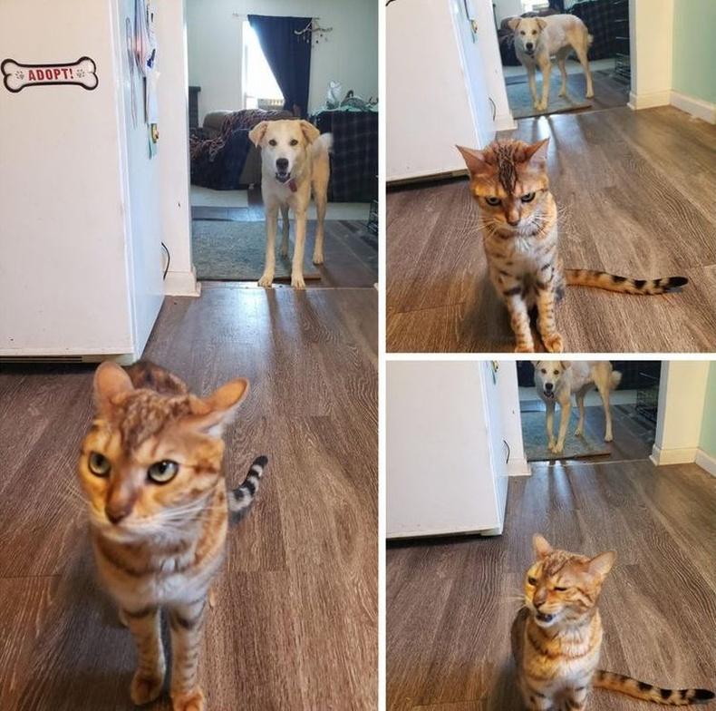 Нохойнд хоолоо алдсан муур эзэндээ ховлохоор ирж байгаа нь