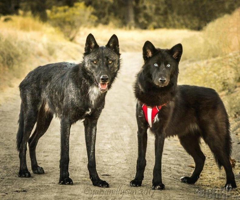 Хар чоно ба чонын хольцтой нохой