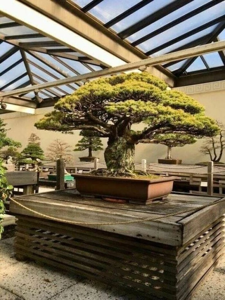 Хирошимагийн бөмбөгдөлтөөс амьд үлдсэн 400 жилийн настай бонсай мод
