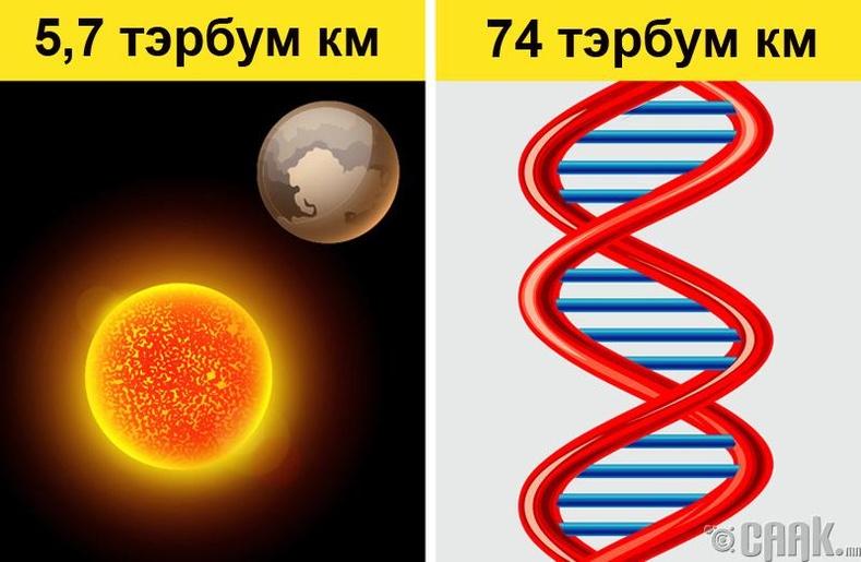 Хүний ДНК нарны аймгаас ч урт