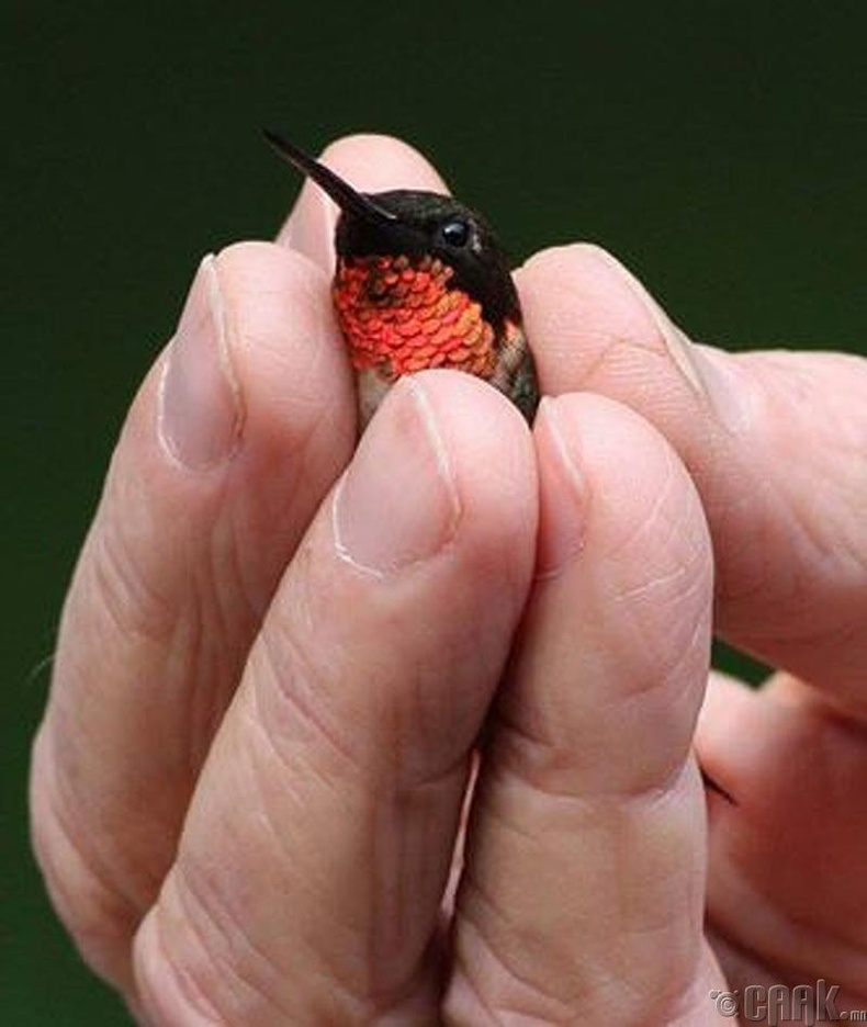 Хуруу шиг жижигхэн шувуу