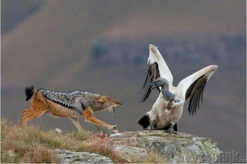 Тасын эсрэг цөөвөр чоно