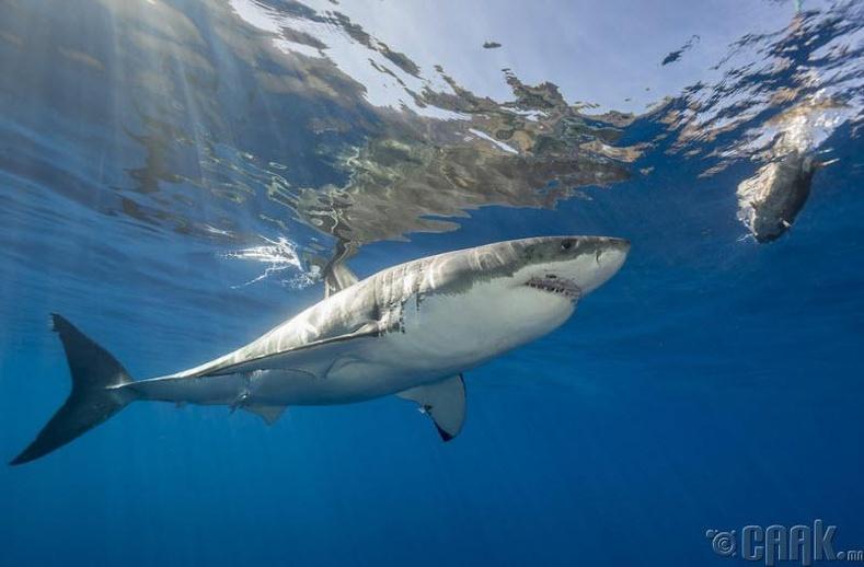 Цагаан аварга загас нүүдэллэдэг