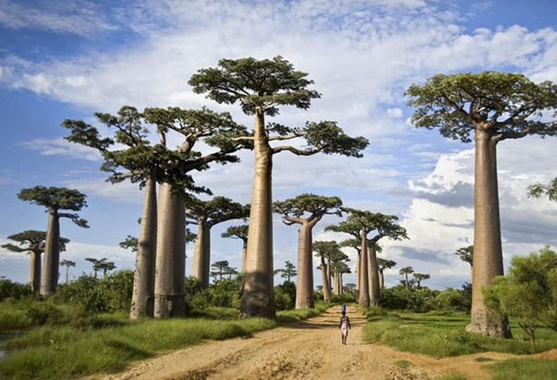 Баобаб моддын төгөл, Мадагаскар