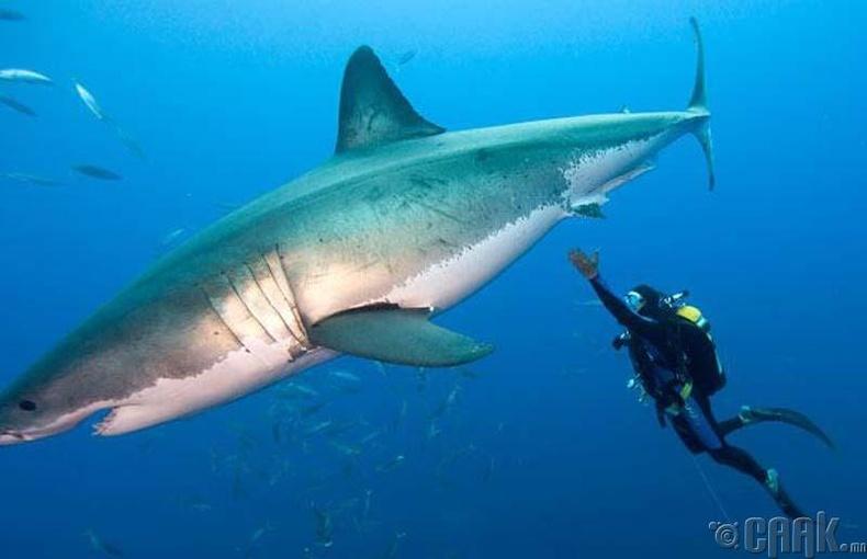 Цагаан аварга загас