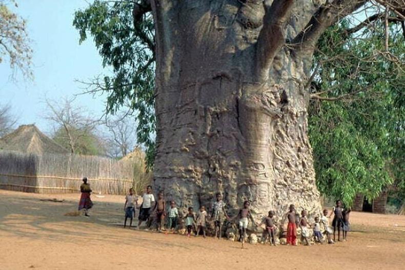 Нутгийн иргэд энэ модыг 6 мянга гаруй жилийн настай гэлцдэг.