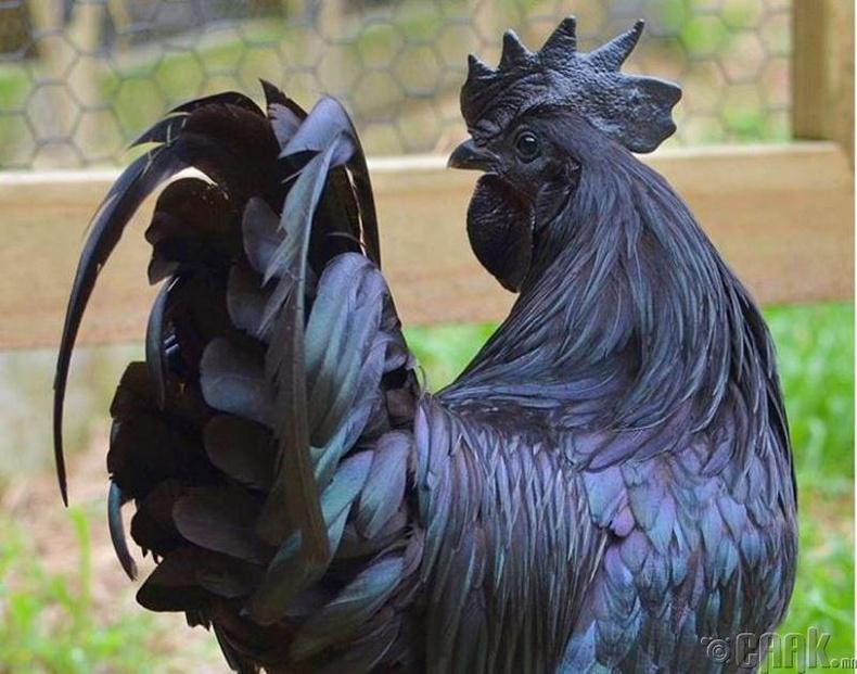 Индонезийн Аяам Чемани үүлдрийн тахиа тас хар өнгөтэй байдаг