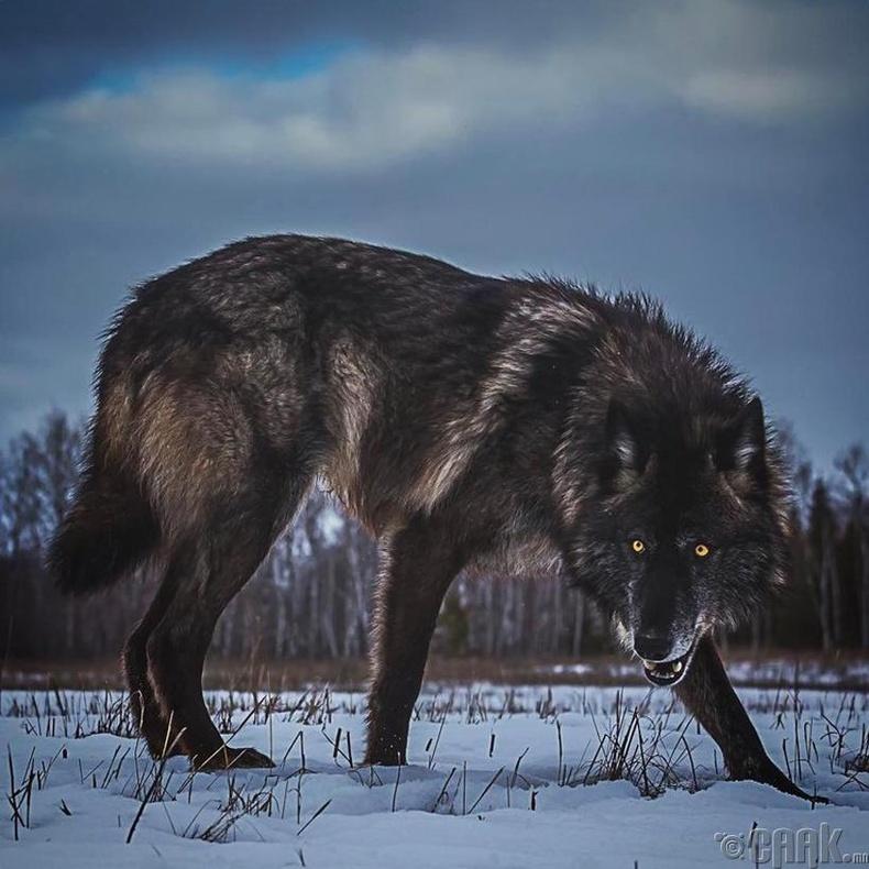 Хойд Америкийн хар чоно