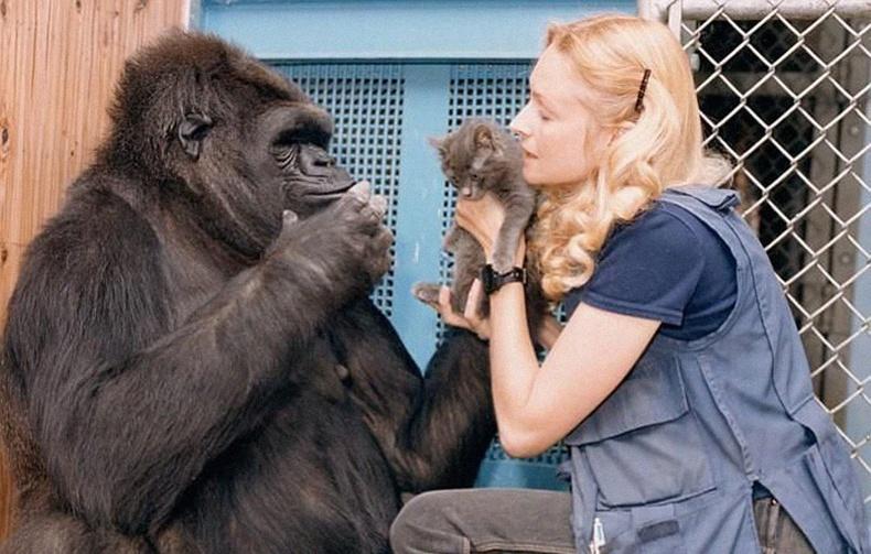 Хүмүүстэй дохионы хэлээр ойлголцдог Коко гориллын түүх