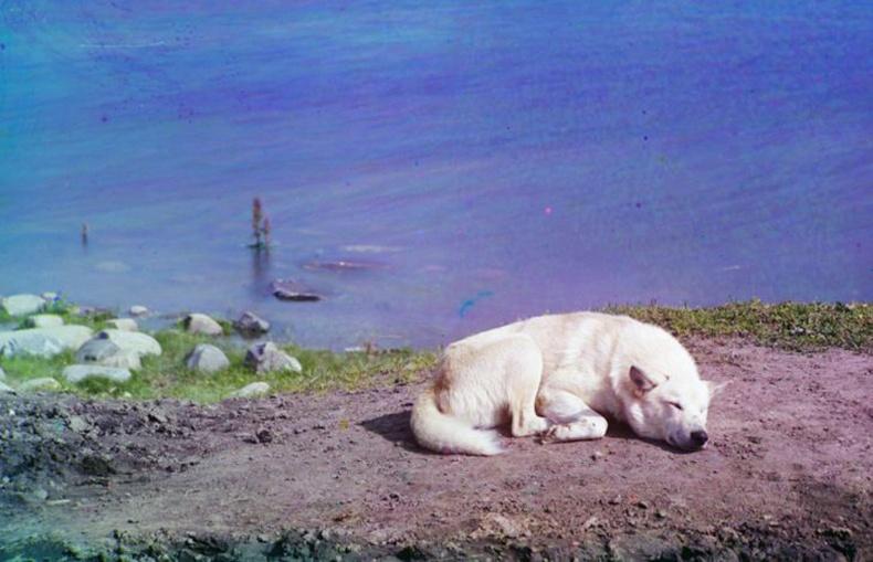 Линдозеро нуурын эрэг дээр унтаж буй нохой - 1910 он