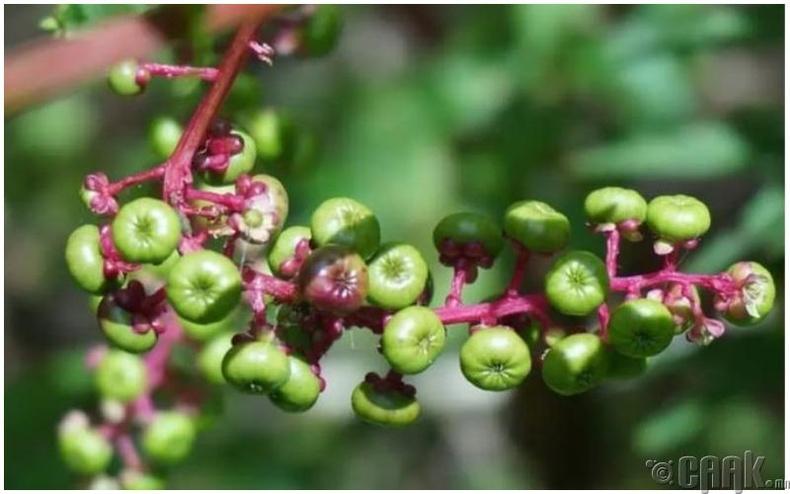 Согтуу өвс (Datura stramonium)