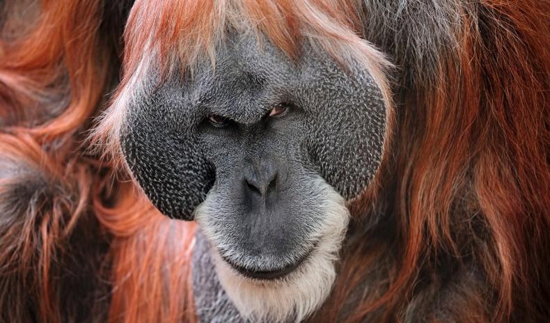 Хүний дараа орох ухаантай амьтан орангутан бичний тухай сонирхолтой 10 баримт
