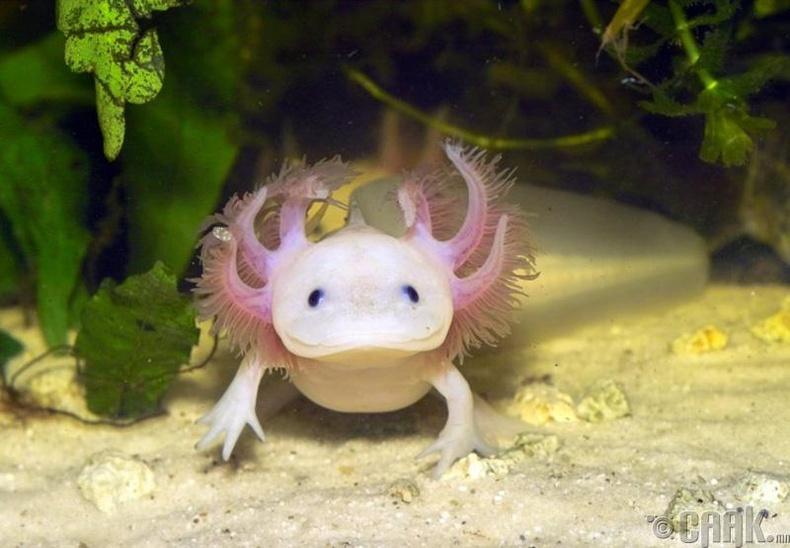 "Дотор арзайлгам ""Axolotl"""