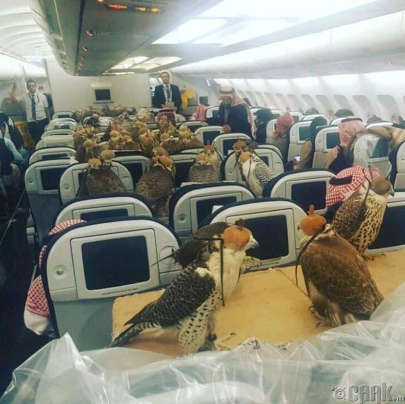 Саудын Арабын хунтайж зөвхөн шонхор шувуунууддаа зориулж суудал захиалдаг