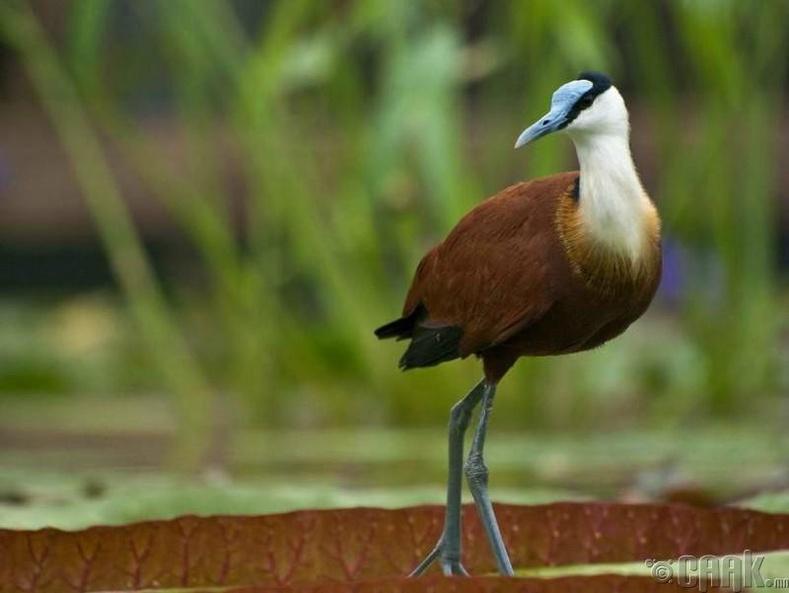 Якана шувуу