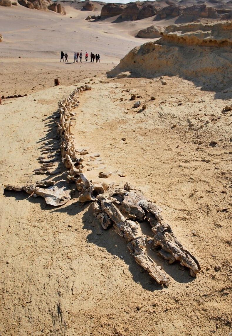 35 сая жилийн өмнө амьдарч байсан аварга халимын араг яс