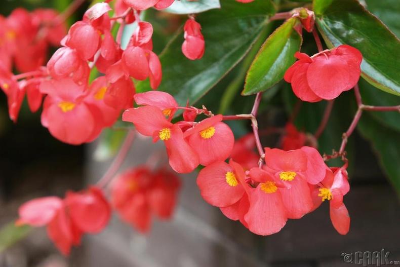 "Хайтан цэцэг - ""Begonia"""
