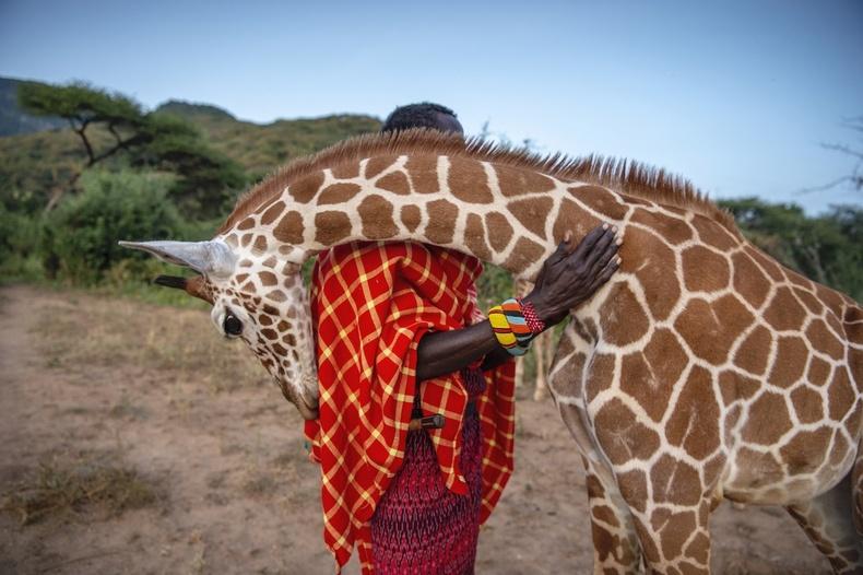 """""""Фото үйл явдал"""" төрлийн ялагч - """"Guardians of the Giraffe""""  Эми Витале (Ami Vitale)"""
