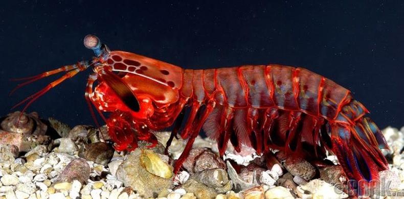 Цөгөрцөг сам хорхой - /Mantis shrimp/