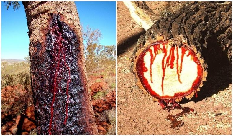 """Зөвхөн Африкт байх """"цусаар уйлдаг"""" мод"""