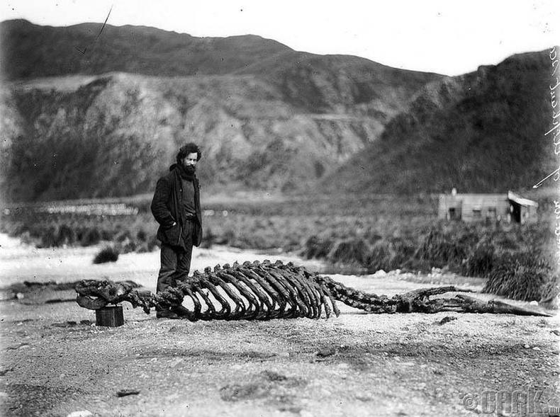 Австралийн судлаач Харольд Хамильтон (Harold Hamilton) Антрактидад далайн арслангийн араг ясны дэргэд зогсож байгаа нь, 1913 он