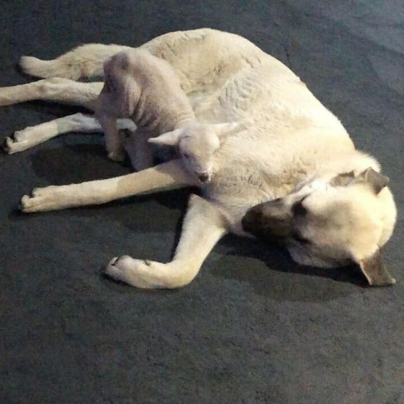 Хурга үрчилж авсан нохой