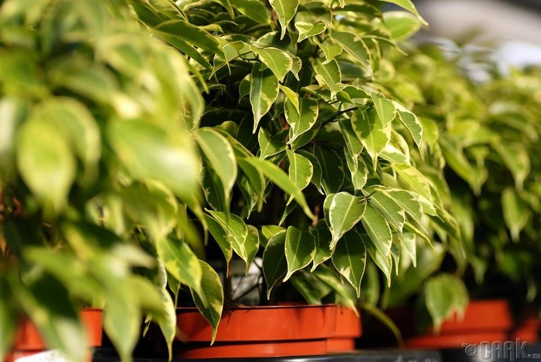 "Бенжамина удамбор - ""Ficus benjamina"""