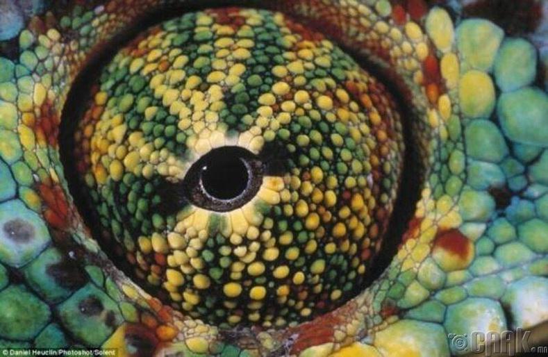 Хамелеоны нүд 360 градусаар, нэгэн зэрэг 2 өөр чиглэлд харж чадна