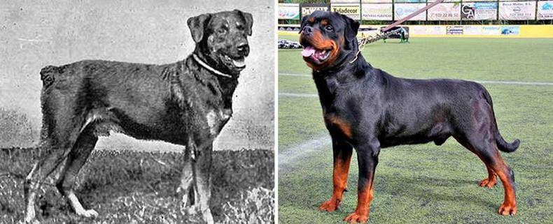 Ротвейлер (Rottweiler)