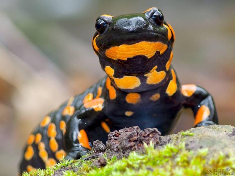 Саламандер гүрвэл