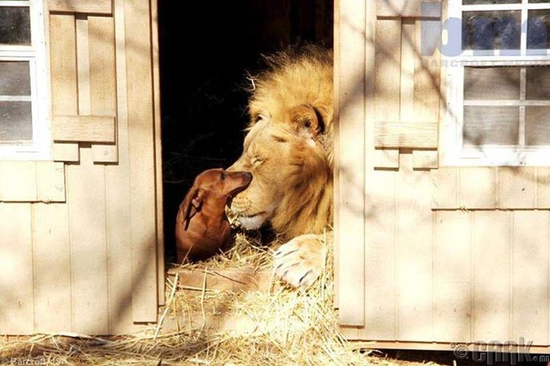 Мило арслан ба Бао нохой