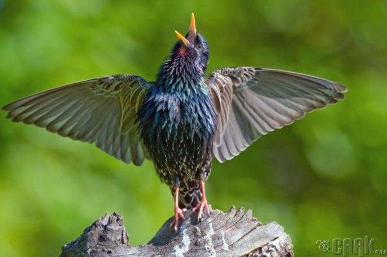 Шувууд илүү сайхнаар жиргэдэг