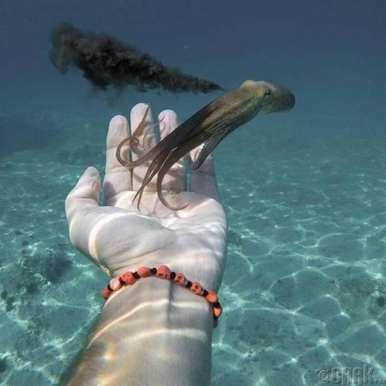 Бэх цацан зугтаж буй наймаалж