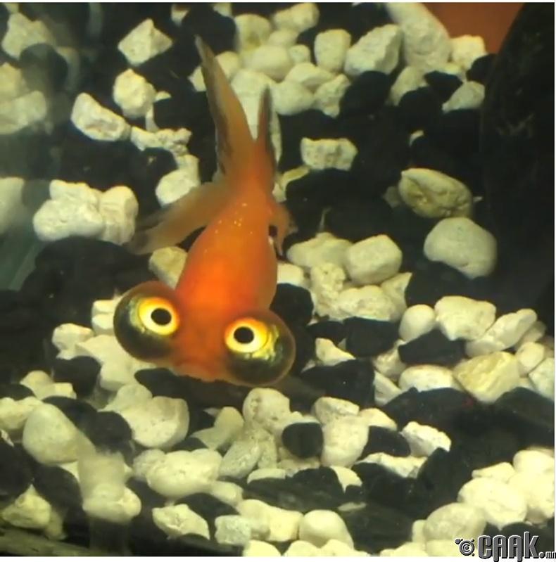 Огторгуйн нүдэт алтан загас