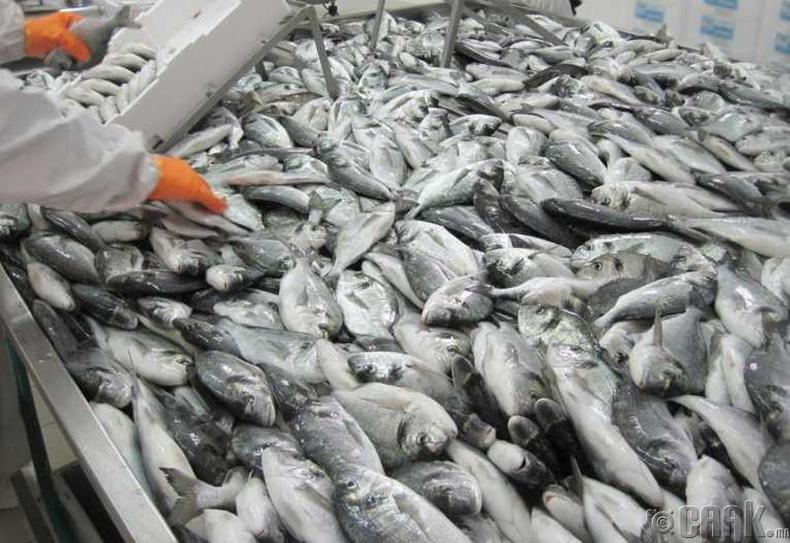 Үржүүлгийн загас