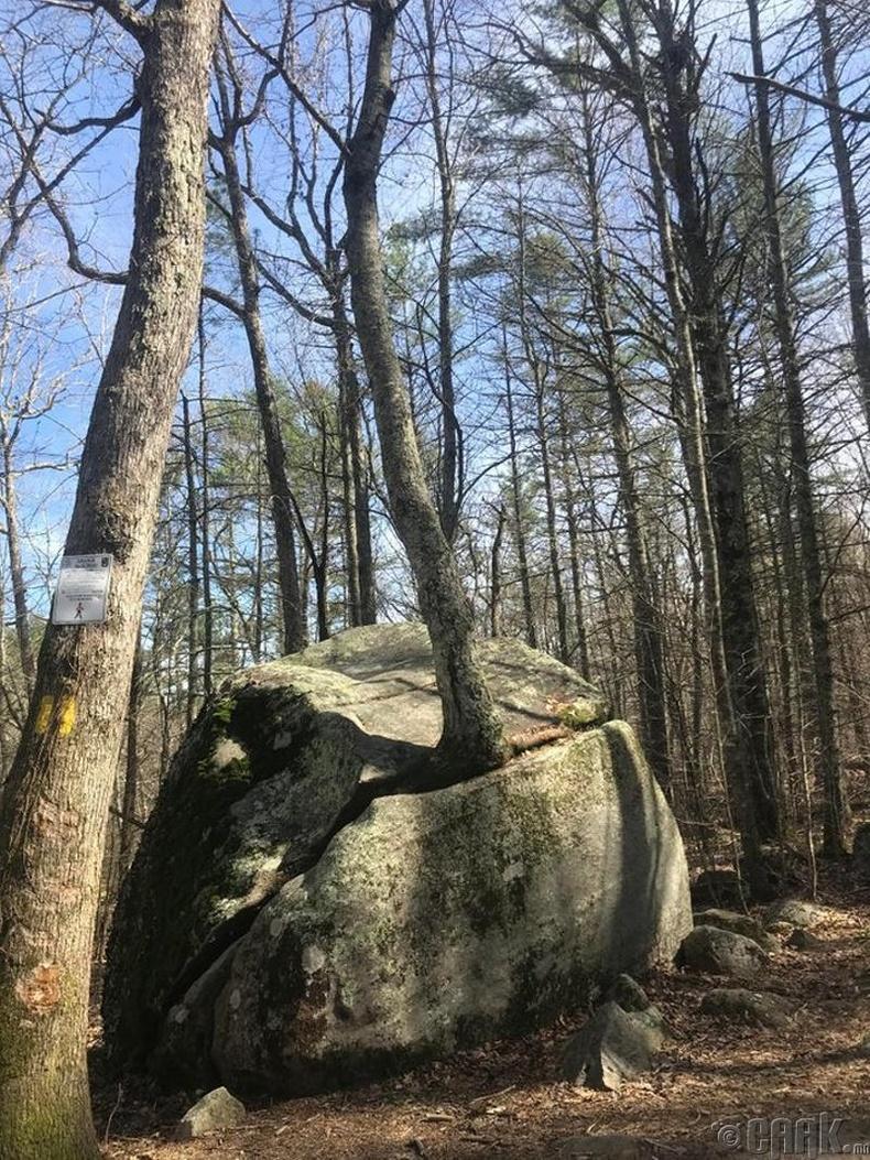 Хадыг нэвтэлж ургасан мод