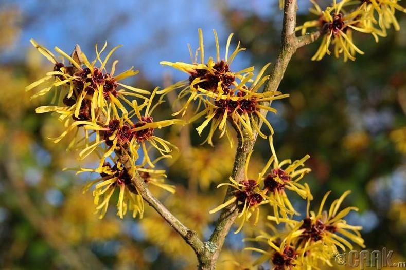Гамамелион цэцэг