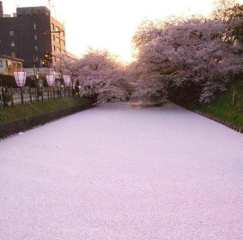 Сакурагийн дэлбээ голыг ягаан болгожээ