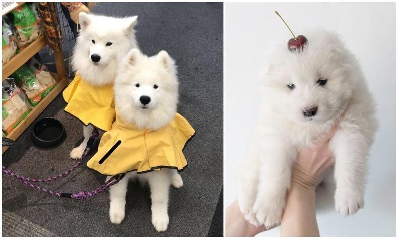 """Эгдүүтэй хөөрхөн Самоед буюу цаатан нохойны """"хайр татам"""" зургууд (20 фото)"""