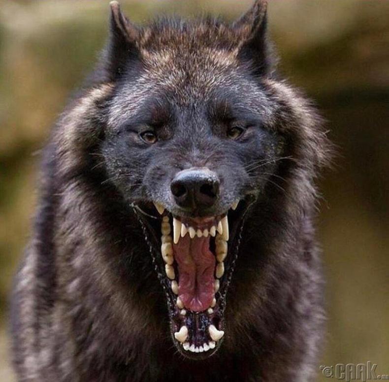 Хар чоно