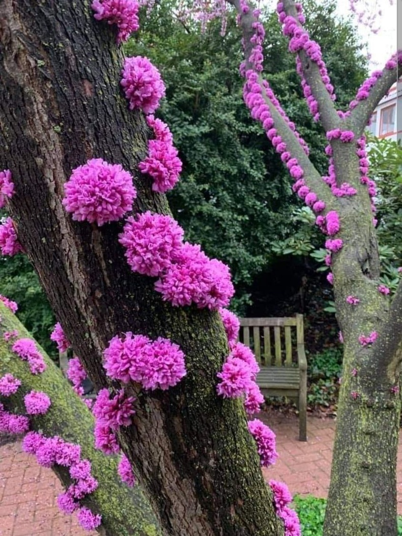 Иудас (Cercis siliquastrum) модны цэцэг нь шууд холтосноос нь ургадаг